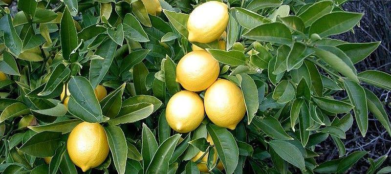 Lemon_tree Allen Timothy Chang